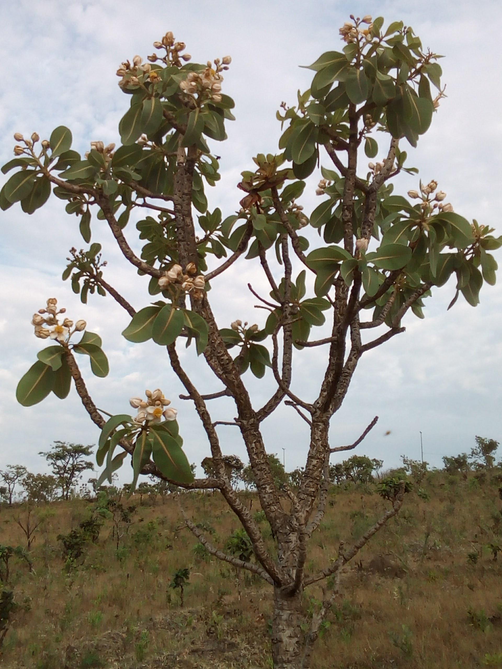 Árvore do Cerrado, Pau-Santo,Kielmeyera coriacea - Sucesso Vital